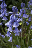 Bluebell hyacinths Stock Photography