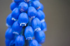 Bluebell kwiat Zdjęcie Royalty Free