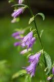 Bluebell kwiat zdjęcia royalty free