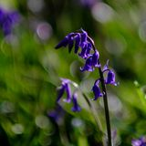 Bluebell kwiat w lesie obraz stock