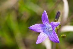 Bluebell kwiatu kampanuli Patula} zakończenie up strzelał obraz stock