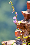 Bluebell kwiaty Zdjęcie Stock