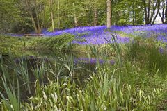 Bluebell lake. Lake in a forest with bluebells Stock Images