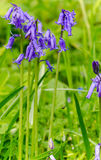 Bluebell macro Royalty Free Stock Image