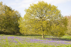Bluebell meadow Stock Images