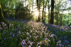 Bluebell meadow Stock Photography