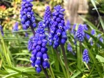 Bluebell pączek w ogródzie zdjęcia stock