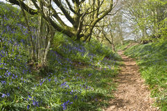 Bluebell path. Woodland path through a bluebell lined forest with moss on the trees Royalty Free Stock Images