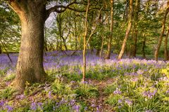 Bluebell path deep in the forest Royalty Free Stock Photo
