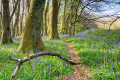 Bluebell Path. A forest path through bluebells in the Cornwall countryside near Redruth royalty free stock photos