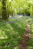 Bluebell Path Royalty Free Stock Image