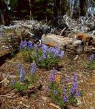 Bluebell piękno Obraz Stock