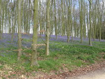 Bluebell plants in a wooded area with trees Stock Photos