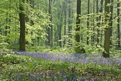 Bluebell spring Stock Images
