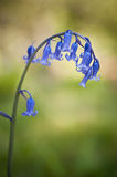 Bluebell Spring flower Royalty Free Stock Photos