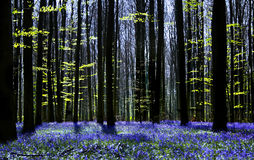 Bluebell symphony Royalty Free Stock Photos