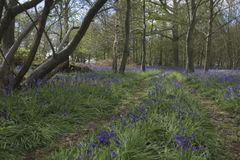 The bluebell trail Royalty Free Stock Photo