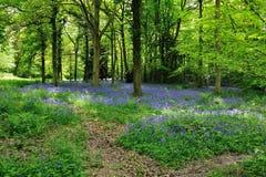 Bluebell-Waldland stockfotos