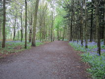 Bluebell walk. A walk through the forest in spring to see the bluebells Royalty Free Stock Photo