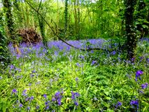 Bluebell walk , reas wood , antrim. Bluebell walk reas wood antrim stock photography
