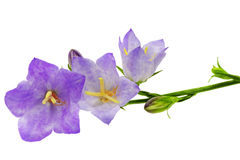 Bluebell on the white background. Close-Up Stock Image