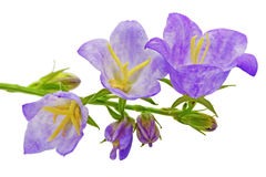 Bluebell on the white background. Close-Up Royalty Free Stock Images