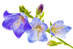 Bluebell on the white background. Close-Up Stock Photography