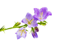 Bluebell on the white background. Close-Up Royalty Free Stock Photos