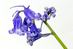 Bluebell on White background stock photo