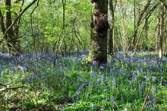 Bluebells in a forest. Mature trees.. Royalty Free Stock Images