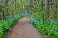Bluebell Wildflowers Riverbend State Park Virginia royalty free stock images