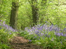 Bluebell Wood 01 Stock Photography
