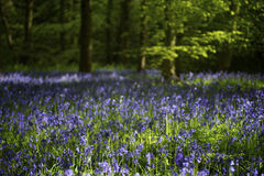 Bluebell wood. Scenic view of Bluebells blooming in wood royalty free stock image