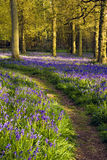 Bluebell wood. A walk through the woods in spring time when the bluebells are flowering Stock Image