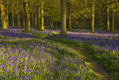 Bluebell wood. A walk through the woods in spring time when the bluebells are flowering stock photography