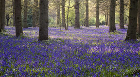 Bluebell wood. A carpet of bluebells in a traditional English wood, they flower early May - Spring time Royalty Free Stock Photography