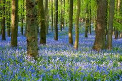 Bluebell wood Royalty Free Stock Photos