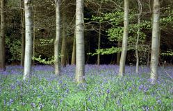 Bluebell wood. Woodland scene with bluebells and silver birch stock photo