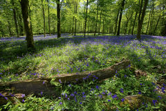 Bluebell Wood. Inside a beautiful bluebell wood, Dorset, England. Focus on log and flowers in the foreground Stock Photo