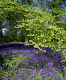 Bluebell wood. Wood in spring-time with a carpet of bluebells underneath a newly forming leaf canopy stock image
