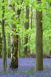 Bluebell Wood. Carpet of bluebells in English woodland Stock Photography