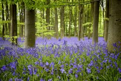 Bluebell wood Stock Images