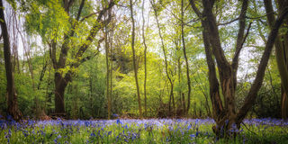 Bluebell Wood In April Stock Image
