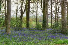 Bluebell wood Royalty Free Stock Image