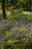 Bluebell wood Stock Photo