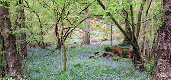 Bluebell Wood 3 Stock Images