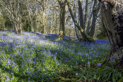 Bluebell Wood First Light Stock Photo