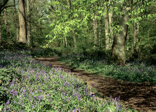 Bluebell Wood In Hertfordshire. Pathway through a bluebell wood in Hertfordshire Stock Photography