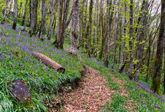 Free Bluebell Wood In Spring Stock Photos - 40371473
