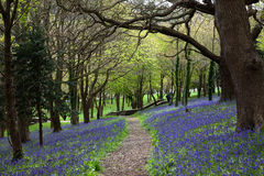 Bluebell wood path Royalty Free Stock Images